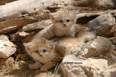 sand cat margarita arabian felis kittens cats endangered cute sandcat baby harrisoni sahara dune pakistan stray domestic