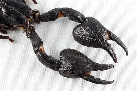 Scorpion Animal Wallpaper - black scorpion animal wallpaper free free hd