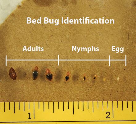 mattress size bed bug pictures eggs and adults 02
