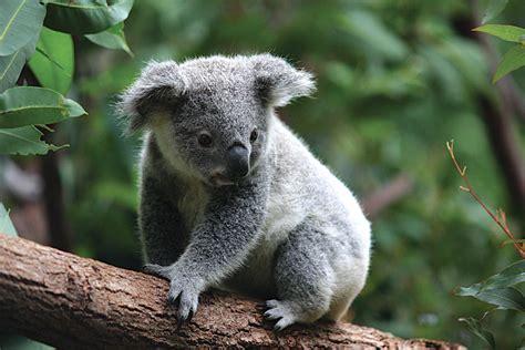We Gave Koala Clancy A Safety Net! Goway