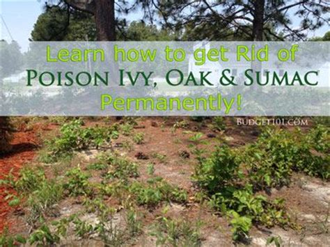 how to get rid of poison sumac getting rid of poison ivy for good kill poison ivy poison oak and shake