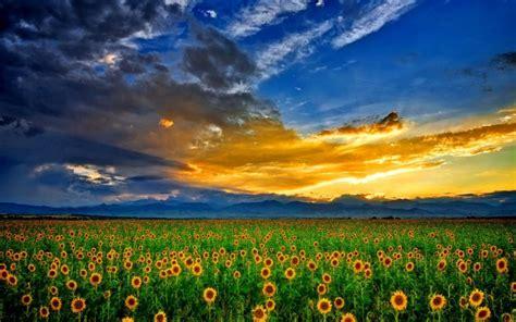 Picture Of Sunflower Hd Desktop Wallpapers 4k Hd