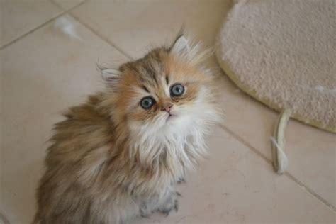 gatti persiani torino gatti persiani chinchilla