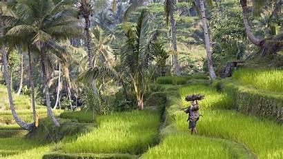 Bali Indonesia Rice Nature Wallpapers Trees Desktop