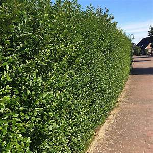 Gräser Winterhart Immergrün : hecke immergr n liguster ovalbl ttrige heckenpflanzen im ~ Michelbontemps.com Haus und Dekorationen