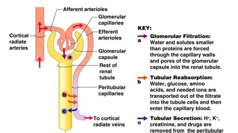 how urine is formed physiology of urine formation online biology notes