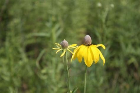 17 Best Images About Illinois Native Plants On Pinterest