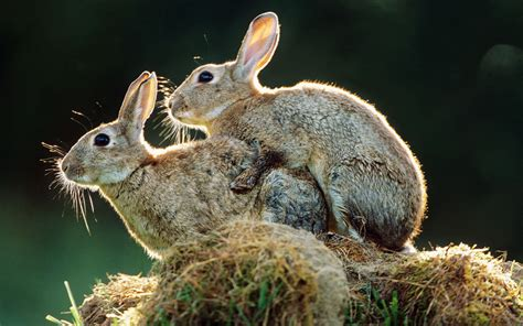 Rabbit Breeders Tell Pope Francis Rabbits Do Not Have A