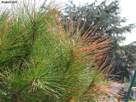 maladie du pin parasol pin parasol malade au jardin forum de jardinage
