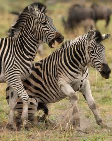 Wild Animals Zebra