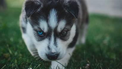 Husky Dog Puppy Background 1080p Heterochromia Laptop