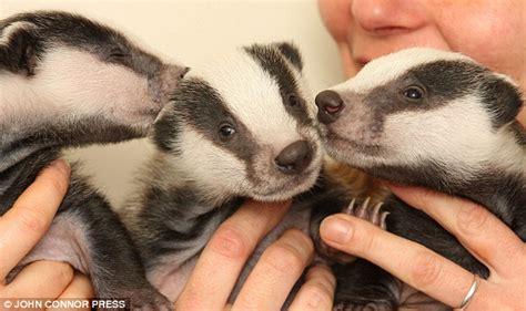 badgers pets cute  docile