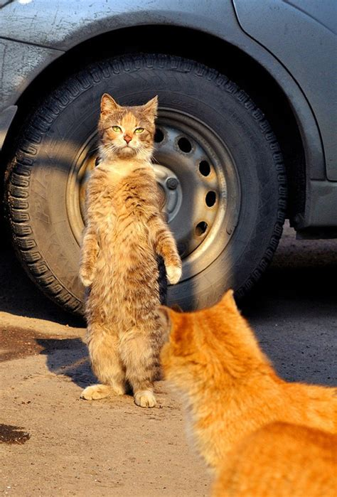 hilarious   cats standing