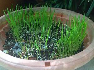 Growing Vegetables With Ms Green Fingers  Growing Rice