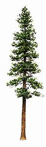 pine tree tattoo - Google Search | Tattoos | Pinterest ...