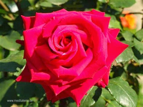 bilder mit rot kostenlose rosenfotos kostenlose rosenfotos bilder mit roten wildrosen gratis