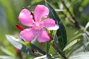 Oleander Winterhart Kaufen : oleander vermehren anleitung f r samen stecklinge und ableger ~ Eleganceandgraceweddings.com Haus und Dekorationen