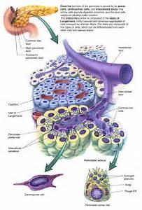 Pancreas Acinar Cells