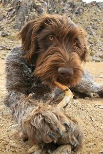 86 best Wirehaired Pointing Griffon images on Pinterest ...