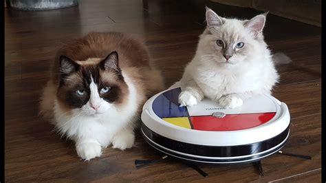 Ragdoll Cats Vs Vanigo Robot Vacuum Cleaner Funny Youtube