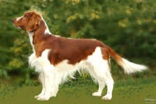 welsh springer spaniel dog photo and wallpaper beautiful