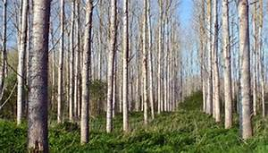 Poplar Tree Facts