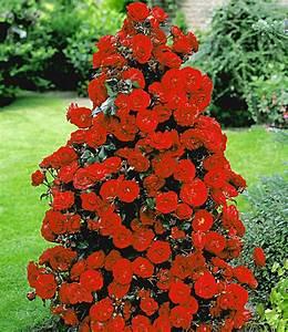 Rote Haselnuss Kaufen : rote duft strauchrose strauchrosen bei baldur garten ~ Michelbontemps.com Haus und Dekorationen