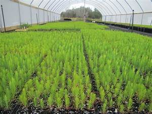 Wildflower Center Delivers Pine Saplings to Bastrop | KUT