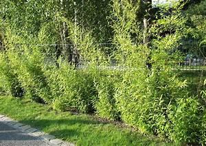 Sichtschutz Pflanzen Pflegeleicht : gitterzaun empfehlenswerte bepflanzung pflegeleicht ~ A.2002-acura-tl-radio.info Haus und Dekorationen