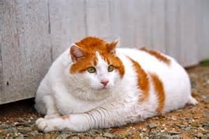 cat world world s top 5 fattest cats pets world