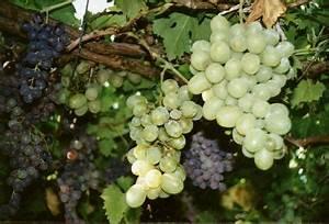 Achat Pied De Vigne Raisin De Table : achat de la vigne vierge acheter au meilleur prix de vente ~ Nature-et-papiers.com Idées de Décoration
