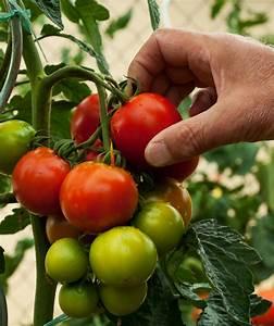 Tomaten Wann Pflanzen : tomaten ernten wann ist der beste zeitpunkt ~ Frokenaadalensverden.com Haus und Dekorationen
