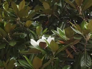 magnolia shrub varieties deciduous magnolia varieties learn about deciduous magnolia trees