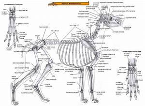Dogs Anatomy Bones