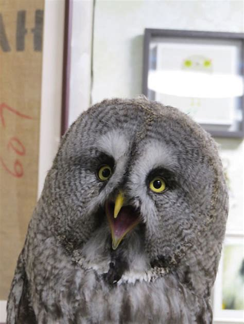 are owls pets who thinks japan s owl cafes are a hoot kotaku australia