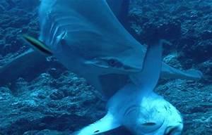 sharkoverload | sharks
