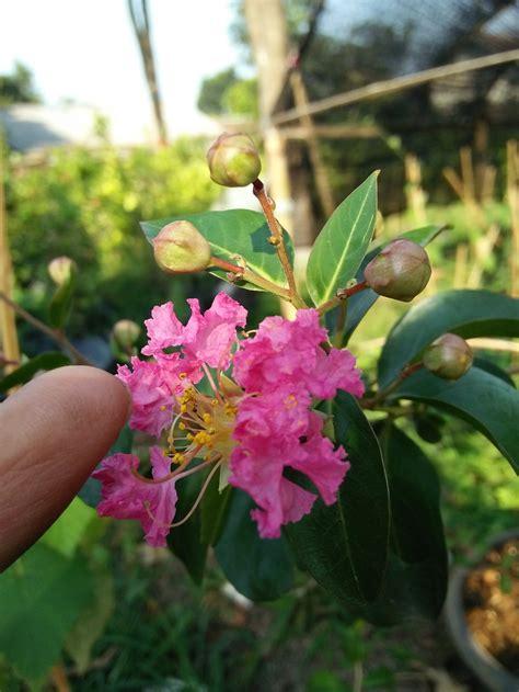 jual bibit pohon bunga sakura lokal  lapak herbaplant