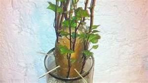 Patate Douce Plante : faire pousser des bambous pivoine etc ~ Dode.kayakingforconservation.com Idées de Décoration