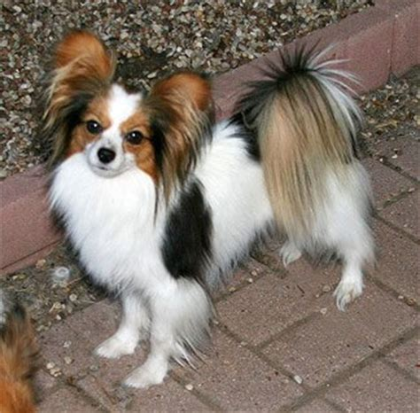 papillon dog breed information pictures
