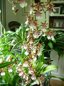 Orchids And Ikebana  Oncidium Orchids   Dancing Lady Orchids