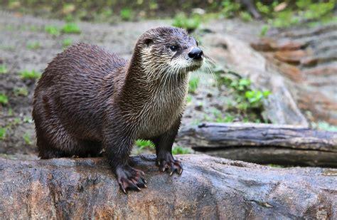 Lontra - ecologia, características e fotos - InfoEscola