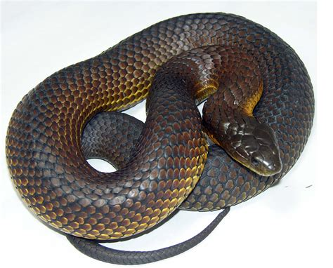 Top 10 Most Dangerous Snakes Venomous Snakes In The World