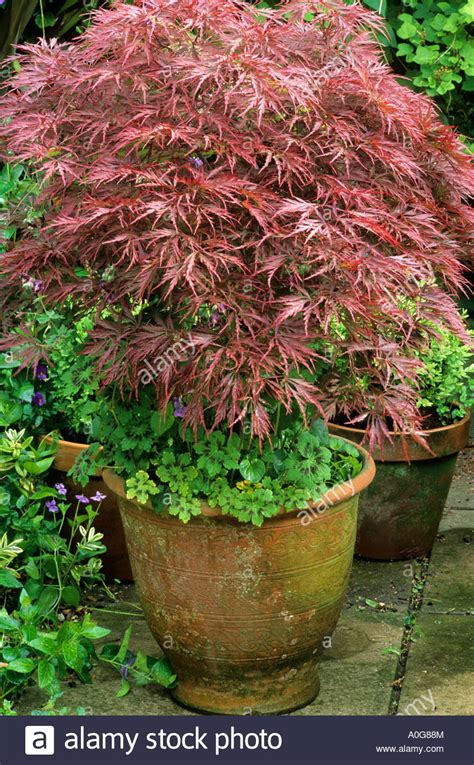 acer palmatum dissectum in ceramic container planter pot bronze stock photo royalty free