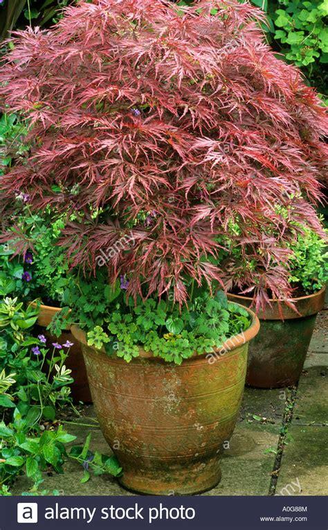 Acer Palmatum Dissectum In Ceramic Container, Planter, Pot