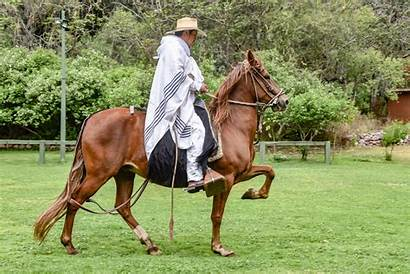 Peruvian Paso Horse Facts Interesting Should Know