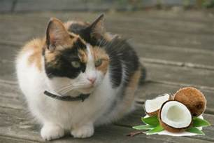 coconut for cats coconut for cats superfood or a bad idea the