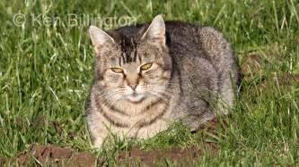 cat or cat felis catus focusing on wildlife