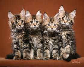 maincoon cats maine coon cats cats