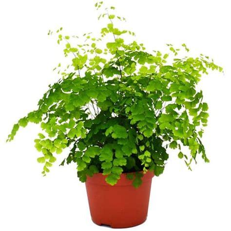 beli disini suplir daun kecil cocok tanaman indoor
