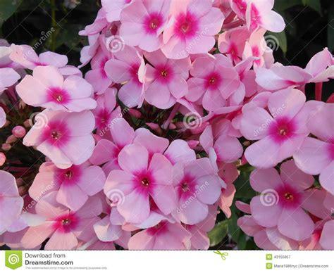 Pinks Flocks Flowers In Battery Park. Stock Image